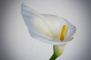 Calla Lily are in bloom by tea