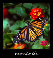 monarch by tea