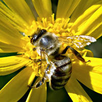 busy bee by tea