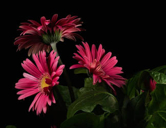 pink daisy by tea