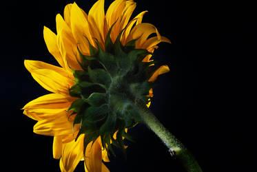 sunflower back by tea