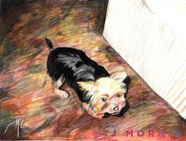 Sashi...our Yorkie by elasticdragon