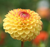 yellow filled dahlia by ingeline-art
