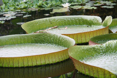 big leaves and waterlily by ingeline-art
