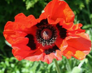 last poppies 4 by ingeline-art