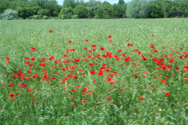 poppies on our way in hungary by ingeline-art