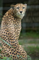 portrait from cheetah by ingeline-art