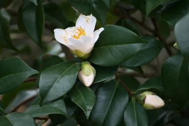 white camellia outside by ingeline-art