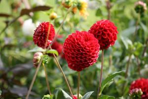 dahlias in Flora garden 78 by ingeline-art