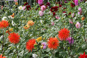 view to dahlias 37 by ingeline-art