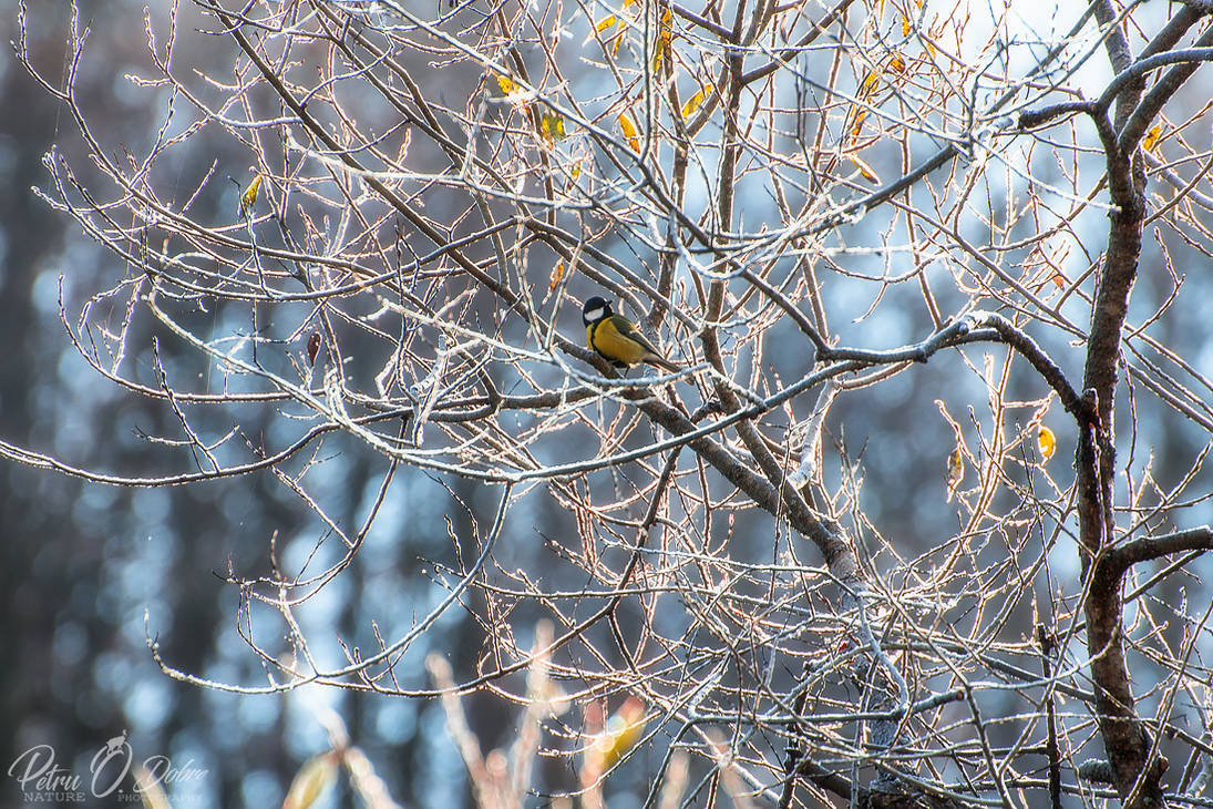 Parus major @ acasa by Pod-Photography
