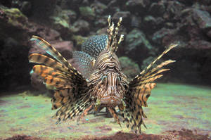 lb1-194 Lionfish3 by bstocked