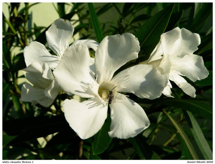 White Oleander Flowers 1 By Danielnikolic On Deviantart