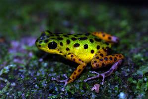 Isla Colon Dart Frog by MonarchzMan