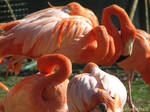 Quiet flamingos in the sun by Momotte2