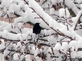 Blackbird in snow by Momotte2
