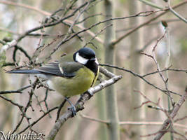 A fluffy great tit by Momotte2