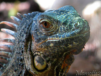 Smiling iguana by Momotte2