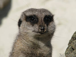 The eyes of the meerkat by Momotte2