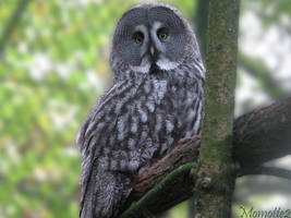 Sweet face of great grey owl by Momotte2