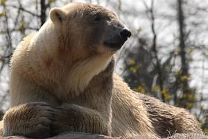 Serene polar bear by Momotte2