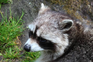 Sweet face of the raccoon by Momotte2