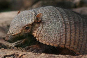 Baby big hairy armadillo by Momotte2