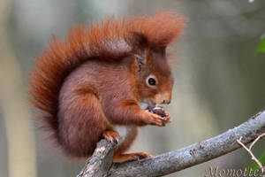 Happy meal for red squirrel by Momotte2
