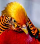 Golden Pheasant by monotone2k