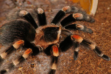 B.smithi, after moult by Hyperborean1987