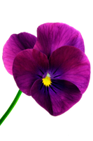 flower 16_Pansy - Stock by Inadesign-Stock