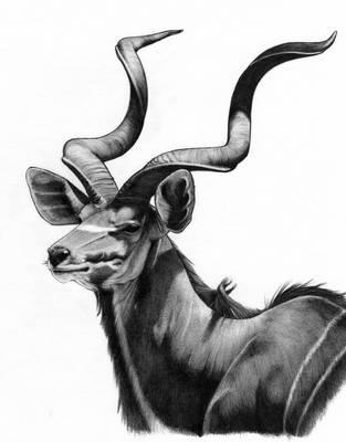 Kudu by unusualworlds