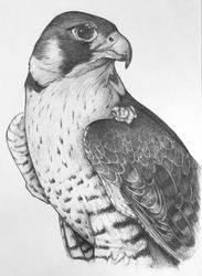Peregrine Falcon by unusualworlds