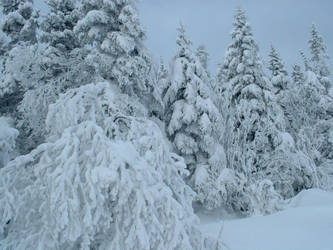 trees sheded wit snow by htet
