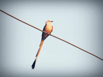 Long Tailed by CherishKay