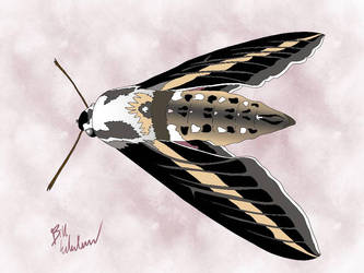Striped Sphinx Moth by BillyJoeWasHere