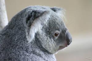 Koala by Atmosphotography