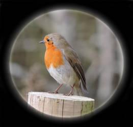 Robin by taramara