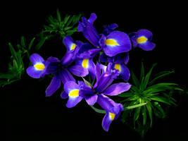 Blue Iris by taramara