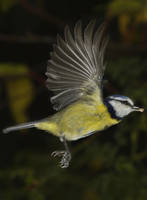 Blue Tit with seed by JoeDyer