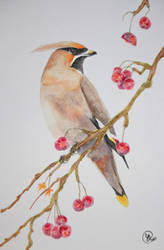 Bohemian Waxwing | watercolour by Jiru-tan