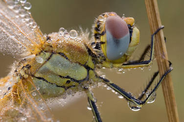 Sympetrum fonscolombii by mescamesh