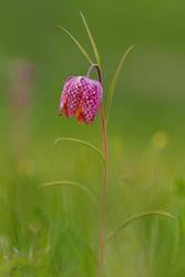 Fritillaria meleagris II by mescamesh