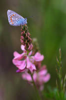Polyommatus thersites 09 by mescamesh
