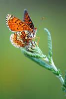 Melitaea cinxia 09 by mescamesh