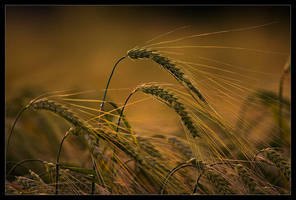 Evening Fields by mescamesh