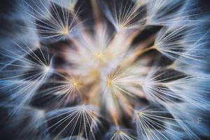 tragopogon pratensis by mescamesh