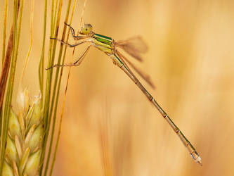 damselfly 2006 by mescamesh
