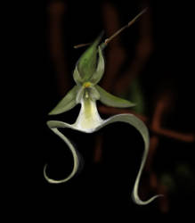 Ghost Orchid by joshrother