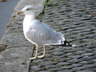 Seagull by andreym24